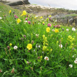 Bed Straw Yellow Spire Flowers Tiny Eyebright Little White