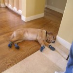 Dog Booties Help Protect Your Hardwood Floors From Scratches Yelp