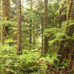 Forest Panorama Timirvin British Columbia And