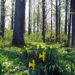 Narcissus Forest Panorama