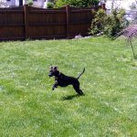 Black Feist Dog Breed Breeds Puppies Small But