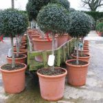 Cheap Ligustrum Topiary Standards Order Plants