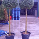 Privet Ball Lollipop Ligustrum