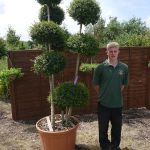 Privet Ligustrum Jonandrum Ball Topiary Art Metres Inc Pot Height Perfection