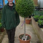 Privet Ligustrum Jonandrum Standard Ball Metres Inc Pot Height Perfection