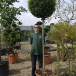Privet Ligustrum Jonandrum Standard Ball Metres Inc Pot
