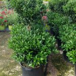 Topiary Woodlands Wholesale